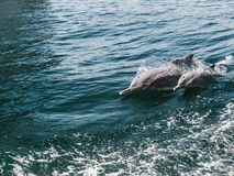 Dolphins swimming in the sea waves. Oman Fjords stock photos