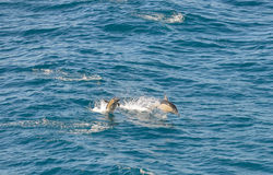 Dolphins swimming in the South Atlantic royalty free stock photo