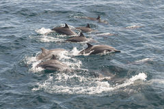 Dolphins swimming, Sri Lanka. Group of dolphins swimming in the Indian Ocean, Sri Lanka royalty free stock photo