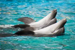 Dolphins swimming on their backs. In pool royalty free stock photos