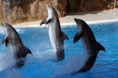 Dolphins swimming on their tai Royalty Free Stock Photography