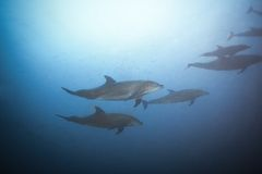 Dolphins swimming together view under the water Royalty Free Stock Photos