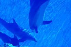 Dolphins swimming underwater Royalty Free Stock Images