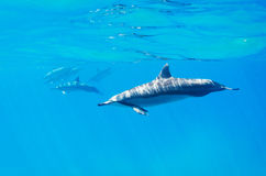 Dolphins swimming underwater. Tropical ocean Stock Image