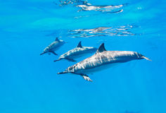 Dolphins swimming underwater Royalty Free Stock Photos