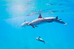 Dolphins swimming underwater Stock Images