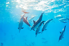 Dolphins swimming underwater. Tropical ocean Stock Images