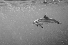 Dolphins while swimming underwater. Dolphins Close to you while swimming in black and white Royalty Free Stock Photo