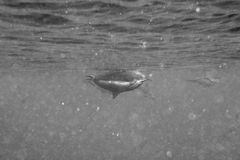 Dolphins while swimming underwater. Dolphins Close to you while swimming in black and white Stock Photography
