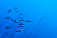Dolphins while swimming underwater. Dolphins Close to you while swimming in the deep blue sea background Stock Images
