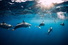 Free Dolphins Swimming Underwater In Ocean At Mauritius Royalty Free Stock Photography - 160904227