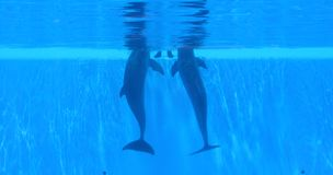 2 dolphins. Swimming underwater wainting for food Royalty Free Stock Photos