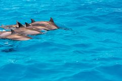 Dolphins from Maldives. royalty free stock photos