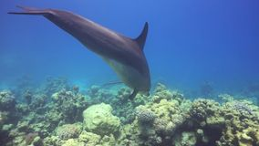 Dolphins Swims Near Divers stock video footage