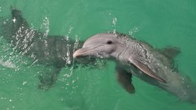 Dolphins swims in the water. Slow motion video. Common bottlenose dolphin or Atlantic bottlenose dolphin. stock video footage
