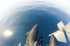 Dolphins swinmming in front of the boat, Galapagos Stock Photos