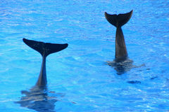 Dolphins tail. Two dolphin's tail say goodbye Stock Photography