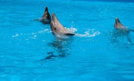 Dolphins. Three bottlenose dolphin fun splashing in the sea Stock Photography