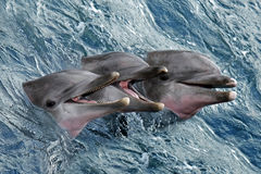 Dolphins Stock Photography