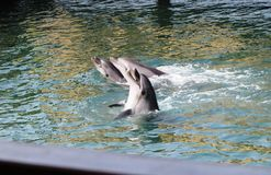 Dolphins. Three tamed dolphins from the show progrsm Royalty Free Stock Photography