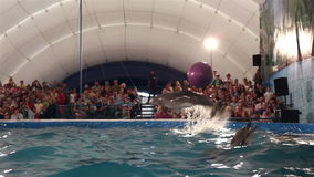 Dolphins throw the ball to the audience. Representation in the Dolphinarium stock footage