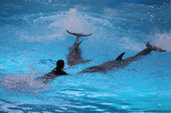 Dolphins and Trainer Royalty Free Stock Photo
