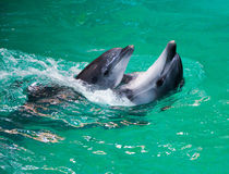 Dolphins. Two dolphins swimming in the pool. Introduction Stock Photography