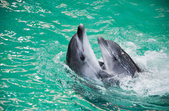 Dolphins. Two dolphins swimming in the pool. Introduction Royalty Free Stock Photos