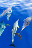 Dolphins under blue water Royalty Free Stock Photography