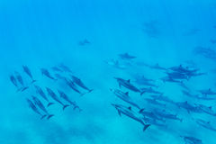 Dolphins Underwater royalty free stock images