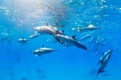 Dolphins Underwater Stock Image