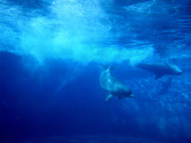 Dolphins underwater. 2 dolphins underwater royalty free stock images