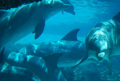 Dolphins Underwater. A group of dolphins underwater at an aquarium Stock Images