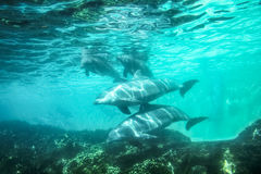 Dolphins underwater background. Group of dolphins swim and play in a pool. Dolphin underwater sea background Stock Photography