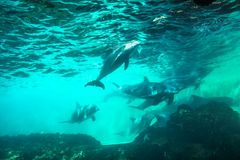 Dolphins underwater background. Group of dolphins swim and play in a pool. Dolphin underwater sea background Stock Photos
