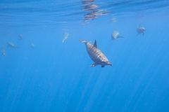 Dolphins Underwater Close encounter Stock Image