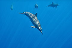 Dolphins Underwater Close encounter Stock Photography