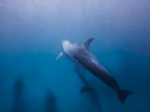 Dolphins underwater. A school of dolphins is swimming intront of the photographer Royalty Free Stock Photography