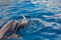 Dolphins in water royalty free stock image
