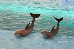Dolphins waving. Two dolphins waving from a pool Royalty Free Stock Photos
