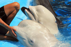 Dolphins and white beluga whales in a pool with trainer royalty free stock photography