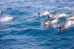 Dolphins in the wild Royalty Free Stock Images