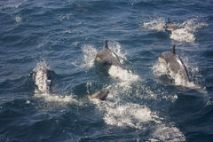 Dolphins in the wild Royalty Free Stock Photography