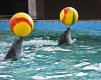Dolphins with yellow balls Stock Photo