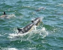 dolphns плавая стоковые фото