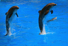 Dolpin jumping. Two dolphins jumping together with baby around in the water royalty free stock image