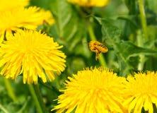 Dolt biflyg för pollen i väg från maskrosen Royaltyfri Fotografi