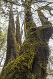 Dolt gammalt träd för jätte- mossa Royaltyfri Foto