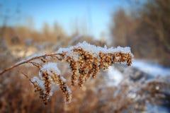 Dolt högväxt gräs för snö Royaltyfria Foton