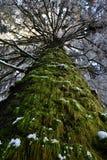 Dolt träd för mossa i vintern arkivbild